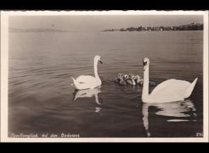 Ansichtskarte Familienglück auf dem Bodensee, Schwäne mit Nachwuchs